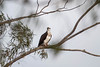 Osprey Feeding at the Lake. (LisaDiazPhotos) Tags: lake perris outdoors get great lisadiazphotos bird wild birds california riverside osprey feeding seahawk riverhawk fishhawk