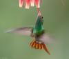 Rufous-tailed Hummingbird (Amazilia tzacatl) (NigelJE) Tags: pichincha ecuador ec rufoustailedhummingbird hummingbird amaziliatzacatl amazilia trochilidae trochilinae nigelje tandayapa sanjorgeecolodges