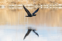 March 4, 2018 - A Cormorant in flight over a pond in Adams County. (Tony's TakeS)