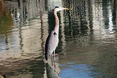 Reflections (Jim Atkins Sr) Tags: greatblueheron ardeaherodias heron lake fairfieldharbour northcarolina olympuspenepm2 olympus water waterfowl bird
