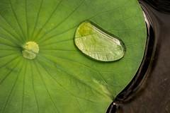 Big Drop 3-0 F LR 2-28-18 J094 (sunspotimages) Tags: waterdrops waterdrop lily waterlily waterlilies nature green
