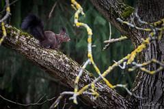 Noir, et j'en suis fier...! (minelflojor) Tags: écureuil arbre épicéa lichen nature zoom feuille branche squirrel tree spruce leaf branch