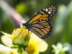 Danaus plexippus nigrippus (Monarch butterfly / Mariposa Monarca) (PriscillaBurcher) Tags: nymphalidae milkweedbutterfly danausplexippusnigrippus danausplexippus monarchbutterfly mariposamonarca butterfliesfromcolombia mariposasdecolombia l1280024