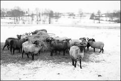 The Girls of the Herd (Eline Lyng) Tags: farm farmanimal gammelnorskspælsau norway winter leica leicasl sl noctilux095 noctilux 50mm leicalens manualfocus bokeh dof herd sheepherd littledoglaughednoiret