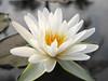 บัวลูกผสมข้ามสกุลย่อย 'ยาคูล' Nymphaea 'Yakult' HxT (Intersubgeneric) Waterlily TH3 (Klong15 Waterlily) Tags: yakultwaterlily waterlily waterlilies landscape landscapes pond pondplant hxtwaterlily lotus lotusflower flowerlover บัวลูกผสมข้ามสกุลย่อย บัว ดอกบัว