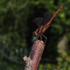 Sympetrum Striolatum - 35mm (Visual Stripes) Tags: dragonfly odonata invertebrate insect macro 35mmmacro 35mm mzuiko olympus olympusepm1 m43 mft mircofourthrirds handheld