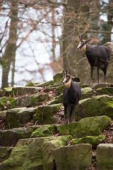 Chamois (Cloudtail the Snow Leopard) Tags: gämse gemse gams tier animal mammal säugetier rupicapra chamois goat antelope wildpark pforzheim
