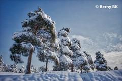 Sapins sous la neige  ❄️ (bernard78br) Tags: 5dsr aurorahdr canon ef40mmf12stm eos hiver iran lightroomcc logicielstraitementimage météosaisons neigesnow photographie photographiematerieletlogiciels saisons tehran téhéran winter