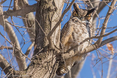 An old acquaintance (rdroniuk) Tags: birds raptors birdsofprey owls greathornedowl bubovirginianus birdsofontario oiseaux rapaces oiseauxdeproie hibou grandducdamérique grandduc