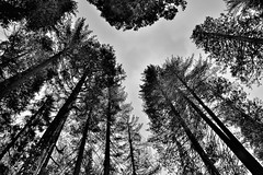 Tall Evergreens and Redwood Trees All Around (Black & White) (thor_mark ) Tags: nikond800e lookingwest day6 triptopasoroblesandyosemite yosemitenationalpark capturenx2edited colorefexpro blackwhite silverefexpro2 tuolumnegrovetrail tuolumnegroveofgiantsequoias outside trees hillsideoftrees blueskieswithclouds evergreens nature talltrees talltreesallaround lookingup lookingupatsky lookingupatskythroughtrees lookingupatskythrutrees lookinguptosky tuolumnegrove project365 california unitedstates