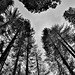Tall Evergreens and Redwood Trees All Around (Black & White)