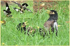 4 myna birds fighting - what a noise! (jangurney) Tags: birds myna fight fz300