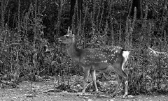 L'appel de la forêt !!! (François Tomasi) Tags: biche monochrome blackandwhite noiretblanc sauvage wild françoistomasi tomasiphotography yahoo google flickr campagne pointdevue pointofview pov justedutalent lanouvellerépublique touraine indreetloire france europe lights light lumière iso photo photographie photography photoshop digital numérique reflex nikon février 2018