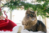 Family pet cat part of the holiday sitting under Christmas tree (blurMEDIA Stock) Tags: cat cateyes catwhiskers christmas christmaslights christmastree cozy cute environmental family feline fur green hiding holiday home house livingroom looking natural needles ornament pet pine pineneedles pinetree season seasonal spruce tinsel tradition traditional tree treestand warm warmth watching whiskers window winter