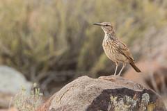 Alondra Namaqua (ik_kil) Tags: alondranamaqua karoolongbilledlark certhilaudasubcoronata karoonationalpark karoo lark westerncape southafrica