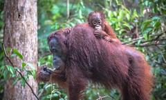 Tanjung Puting National Park - Borneo, Indonesia (Guiyomont) Tags: orangutan monkey ape wildlife conservation park indonesia borneo travel asia tanjung puting