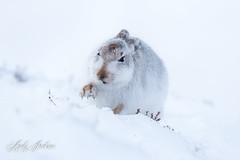13-02-2018 Mountain Hare 4 (zandy1978) Tags: mountain hare scotland highlands mammal snow winter wildlife nature natural canon cairngorms