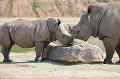 DSC_4023 (Andrew Nakamura) Tags: animal mammal rhino southernwhiterhinoceros whiterhino rhinocalf feeding sandiegozoosafaripark safaripark escondido