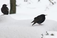 (margot 52) Tags: giardino matsuobasho haiku cibononogm nongmofood birds black