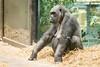 2018-03-06-10h50m58.BL7R0317 (A.J. Haverkamp) Tags: canonef100400mmf4556lisiiusmlens shindy amsterdam noordholland netherlands zoo dierentuin httpwwwartisnl artis thenetherlands gorilla sindy pobrotterdamthenetherlands dob03061985 nl