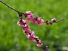 Japanese apricot (Prunus mume, 梅) blossoms (Greg Peterson in Japan) Tags: 梅 shiga hayashi plants 栗東市 ritto japan plumblossoms 植物 花 flowers 滋賀県 shigaprefecture