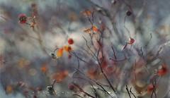(Franci Van der vyver (Carmen Tulum)) Tags: nikon1050mmf28 rosehip berries winter winterberries
