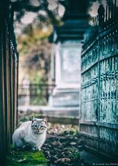 Cats of Bucharest (cristian_dumitriu) Tags: cat bucharest cemetery moody mood matte street streetphotography