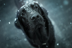 Greetings! ~ Explored 20.01.2018 #31 (Christina Draper) Tags: dog hound snow black nose muzzle