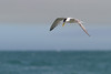 Sky in thirds (Mikey Down Under) Tags: bulli crested flying illawarra nsw sandonpoint southcoast tern