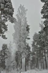 A birch (Stefano Rugolo) Tags: stefanorugolo pentax pentaxk5 k5 smcpentaxda1855mmf3556alwr verticalformat birch tree forest fog winter snow cold landscape hälsingland sverige sweden