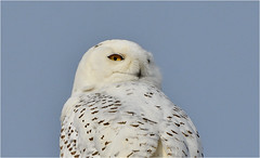 In The Sunlight (hd.niel) Tags: snowyowl ontario photography wildlife nature owls winter