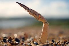 This way to the beach. (qpegs) Tags: hairy closeup broken shellfish seaside seaanimal animal bokeh crabclaw point sea sand sun beach claw crab