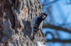 Hairy Woodpecker, Greenway Park (frank.king2014) Tags: hairywoodpecker