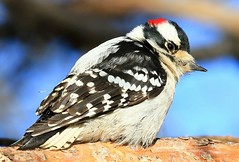 downy woodpecker  male at Lake Meyer Park IA 854A9764 (lreis_naturalist) Tags: downy woodpecker male lake meyer park winneshiek county iowa larry reis