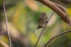 Ampang180204_678 (kamaruld) Tags: yellowbreastedflowerpecker flowerpecker bird birding tree branch leaf perching nikon nikkor 200500mm natural habitat nature