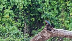 114.2 Amerikaanse Reuzenijsvogel-20171112-J1711-66964 (dirkvanmourik) Tags: aves birdsofperu manuriver manureservedzone parquenacionaldelmanu peru2017 rainforest tropischregenwoud vogel megaceryletorquata ringedkingfisher martíngiganteneotropical amerikaansereuzenijsvogel
