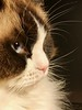 Les belles vibrisses de Gimmy (prime.claude) Tags: ragdoll cats bestofcats