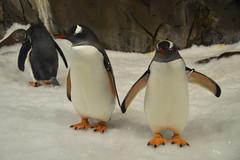 Gentoo Penguin (Pygoscelis papua) (Seventh Heaven Photography) Tags: gentoo penguin pygoscelis papua pygoscelispapua bird aves animal wildlife nikond3200 melbourne sealife aquarium victoria australia sea life