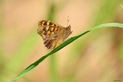 Pararge aegeria (jotneb) Tags: natureza insectos animais vidaselvagem arlivre paixão escaroupim nymphalidae