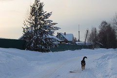 Местная собака