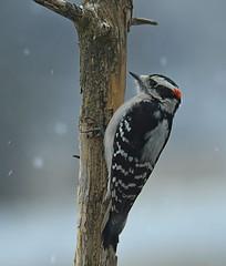 Downy Woodpecker (Steve Liffmann) Tags: downywoodpecker
