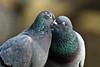 Happy Valentine's Day 2018 (K.Verhulst) Tags: duiven dove birds vogels bird valentinesday coth5 ngc npc