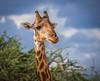 Namibia Etosha Giraffe (Sas & Rikske) Tags: canon eos1d x canoneos1dx canon100400 eric bruyninckx riksketervuren namibië namibia namib animal animals safari africa afrika etoshagamepark etosha game park etoshapan pan greatwhiteplace great white place oshindonga ndonga landscape green blauwevogelreizen 2017