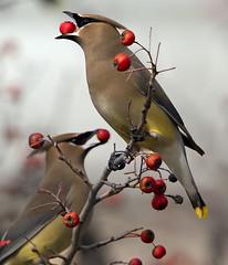 cedar waxwing bird -  Newport News Va. (watts_photos) Tags: cedar waxwing bird newport news va birds black red tan yellow berries berry tree
