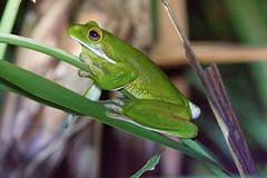 Pelodryadidae: Nyctimystes infrafrenatus infrafrenatus (White-lipped Tree Frog, Giant Tree Frog) 5 (Kristof Zyskowski and Yulia Bereshpolova) Tags: hylidae pelodryadidae nyctimystes infrafrenatus whitelippedtreefrog gianttreefrog indonesia rajaampat waigeo newguinea