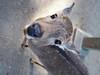 Awkward Angles (Angelk32) Tags: nara deer fawn kyoto narapark wildanimal japan 17mm primelens em10 olympus microfourthirds traveljapan mirrorless closeup babydeer portrait