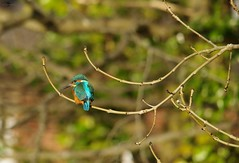 endcliffe park kingfisher sheffield 2018 (15) (Simon Dell Photography) Tags: endcliffe park bingham whitley woods forge dam kingfisher bird rare blue orange winter spring grey animal nature together wildlife sheffield botanical gardens simon dell photography 2018 feb 24 sunny detail high res perched sitting fishing