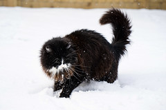 Lucy says 'W-H-A-A-T?' (hehaden) Tags: cat kitty tuxedo blackandwhite semilonghair garden snow cold winter
