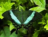 Emerald Swallowtail (brite star creations) Tags: butterfly green blue black asia rare emeral emerald swallowtail insect fauna tropics tropical wings iridescent