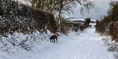 Kiri in the West Lonning (allybeag) Tags: snow beastfromtheeast crosby winter weather kiri dog tree trees lonning westlonnning lane path hedges